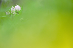 カタクリの花の写真素材 [FYI03137037]