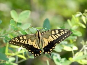 羽を広げるアゲハ蝶の写真素材 [FYI03137172]