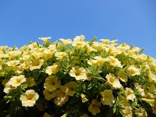 青空の下、花の写真素材 [FYI03137174]