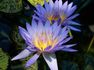 ハスの花の写真素材 [FYI03137175]