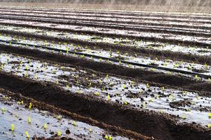 レタス畑の水遣りの写真素材 [FYI03137907]