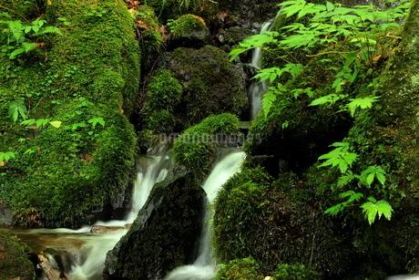 スッカン沢の渓流と苔の森の写真素材 [FYI03137999]