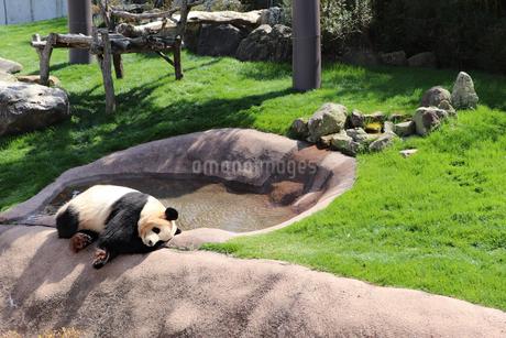 おひるねパンダの写真素材 [FYI03138003]