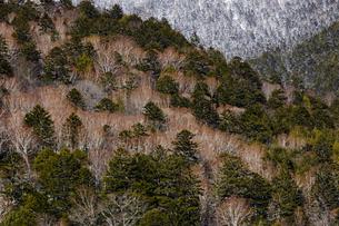 冬の上高地から見るダケカンバと針葉樹の風景の写真素材 [FYI03138078]