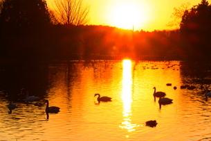 夕陽と白鳥の写真素材 [FYI03138923]