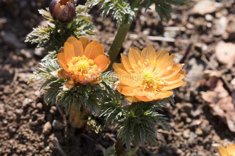 フクジュソウの花の写真素材 [FYI03139529]