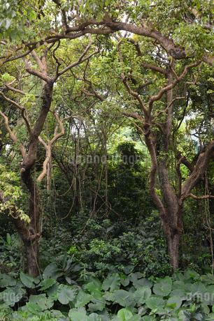 クワズイモが多く育つジャングルの写真素材 [FYI03139593]