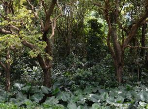 クワズイモが多く育つジャングルの写真素材 [FYI03139755]