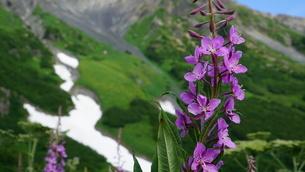 花 アラスカ Seward アメリカ 67の写真素材 [FYI03139894]