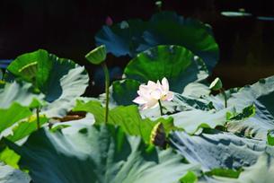 蓮の花の写真素材 [FYI03140463]
