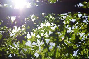 楓と陽射しの写真素材 [FYI03140466]