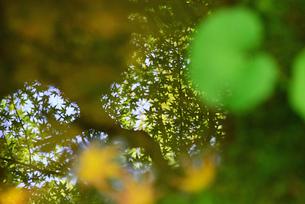 水面に映る楓の写真素材 [FYI03140469]