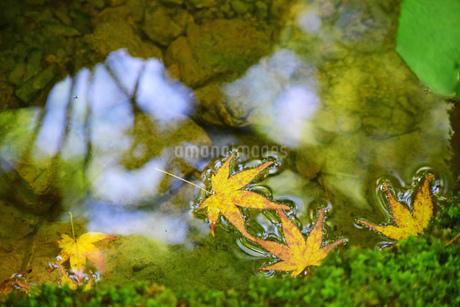 水面の楓の写真素材 [FYI03140470]