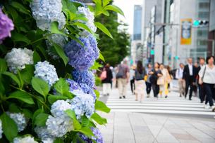 アジサイ咲く京橋の街並みの写真素材 [FYI03140485]
