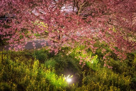 静岡県・南伊豆町 河津桜と菜の花のライトアップの写真素材 [FYI03140663]