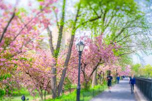 セントラルパーク貯水池沿いのランニングコースの桜並木の写真素材 [FYI03140884]