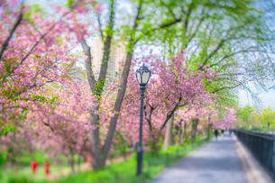 セントラルパーク貯水池沿いのランニングコースの桜並木の写真素材 [FYI03140891]