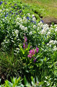 米コロラド州ロッキーマウンテンの高山地帯に咲く野草の花々の写真素材 [FYI03140950]