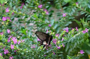 黒のアゲハチョウの写真素材 [FYI03140970]