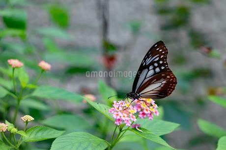 花の蜜を吸うマダラチョウの写真素材 [FYI03140971]