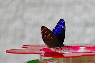 水を飲む紫色のチョウの写真素材 [FYI03140973]