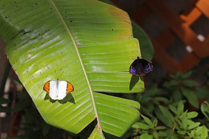 大きな葉にとまる二匹のチョウの写真素材 [FYI03140975]