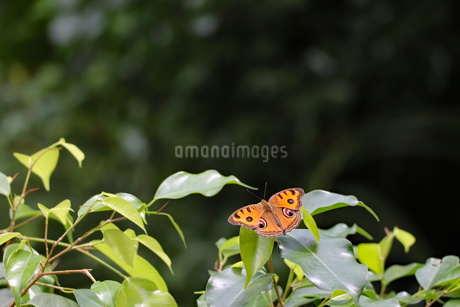 オレンジ色のチョウの写真素材 [FYI03140977]