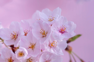 桜の写真素材 [FYI03141014]