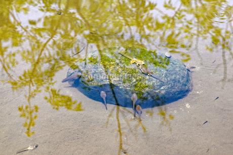池のオタマジャクシの写真素材 [FYI03141040]