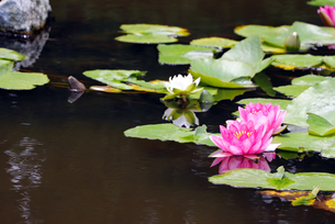 水面に浮かぶ睡蓮の写真素材 [FYI03141066]
