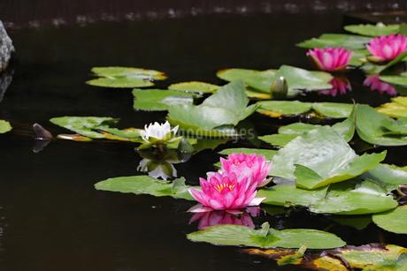 公園の池に咲く睡蓮の写真素材 [FYI03141071]