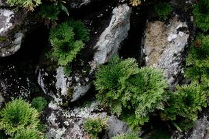 岩松と岩の写真素材 [FYI03141314]