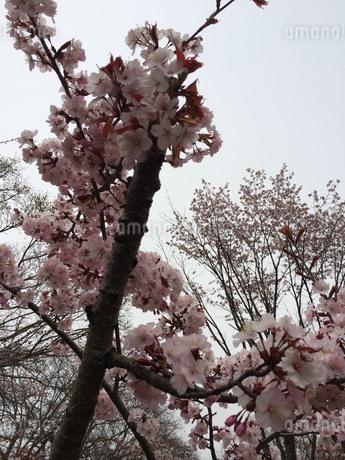 北国の桜の写真素材 [FYI03141661]