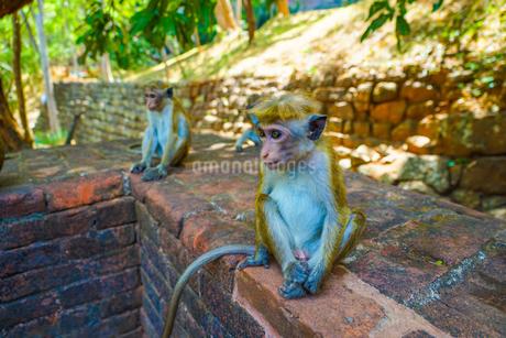 猿(スリランカ・シーギリヤロック)の写真素材 [FYI03141805]