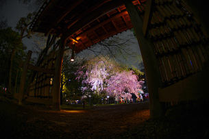 六義園の満開の枝垂れ桜の写真素材 [FYI03141813]