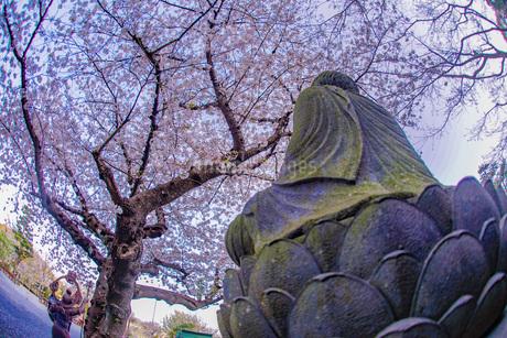 満開の桜と鎌倉長谷寺の風景の写真素材 [FYI03141881]