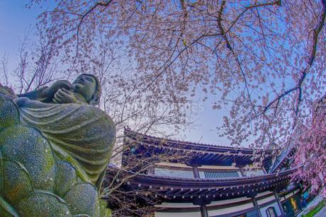 満開の桜と鎌倉長谷寺の風景の写真素材 [FYI03141885]