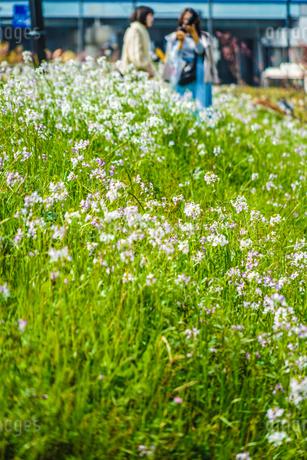 二子玉川の河川敷に咲くなずなの写真素材 [FYI03141921]