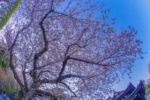 満開の桜と鎌倉長谷寺の風景の写真素材 [FYI03141927]