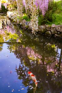 春日大社 萬葉植物園 藤の花と錦鯉の写真素材 [FYI03142353]