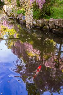 春日大社 萬葉植物園 藤の花と錦鯉の写真素材 [FYI03142354]