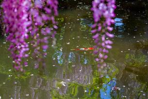 春日大社 萬葉植物園 藤の花と錦鯉の写真素材 [FYI03142377]