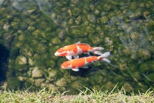 池の鯉の写真素材 [FYI03142489]