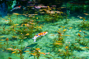 モネの池の写真素材 [FYI03142617]