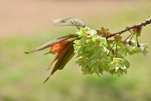 桜 御衣黄の写真素材 [FYI03142726]