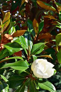 タイサンボク 花の写真素材 [FYI03143090]
