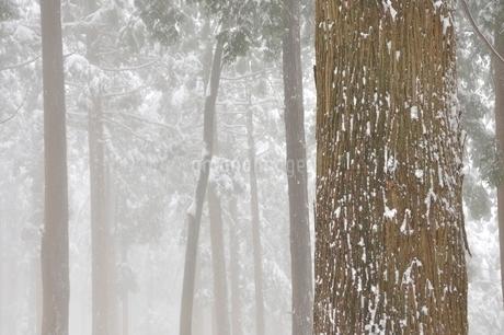 豪雪の森の写真素材 [FYI03143183]