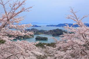 桜咲く松島 宮城県の写真素材 [FYI03143305]