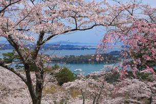 桜咲く松島 宮城県の写真素材 [FYI03143310]