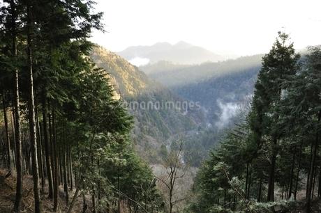 杉林の斜光線の写真素材 [FYI03143493]